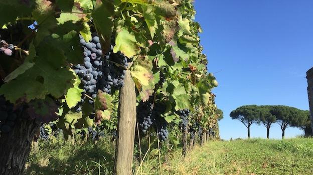 3 aglianico vines at paternoster copy