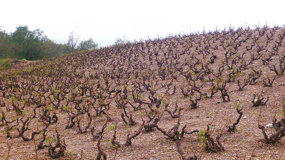 Vines in morgon on june 4  2016  the morning after a violent hailstorm edited