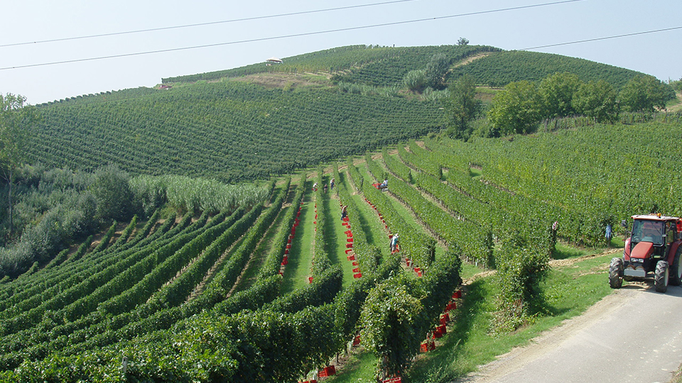A view of the arneis vineyards cover