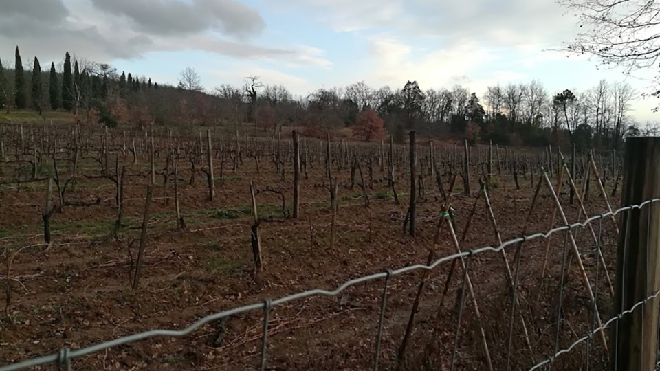 The vineyards at le potazzine in early february copy