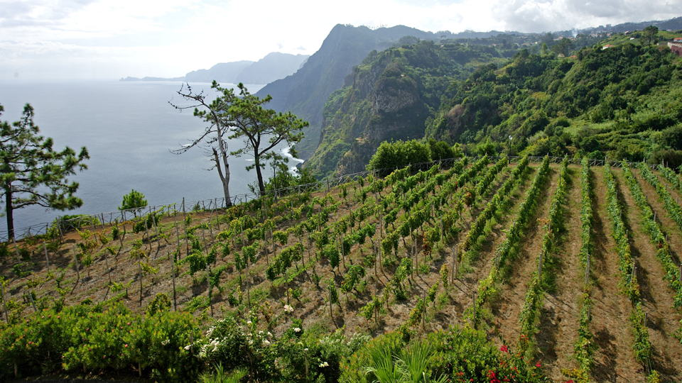 Madeira island vineyard