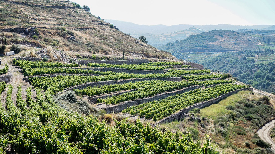 Terraced vineyards in valdeorras  overlooking the river sil. today  this relatively obscure zone is emerging as one of spain's most exciting growing regions copy