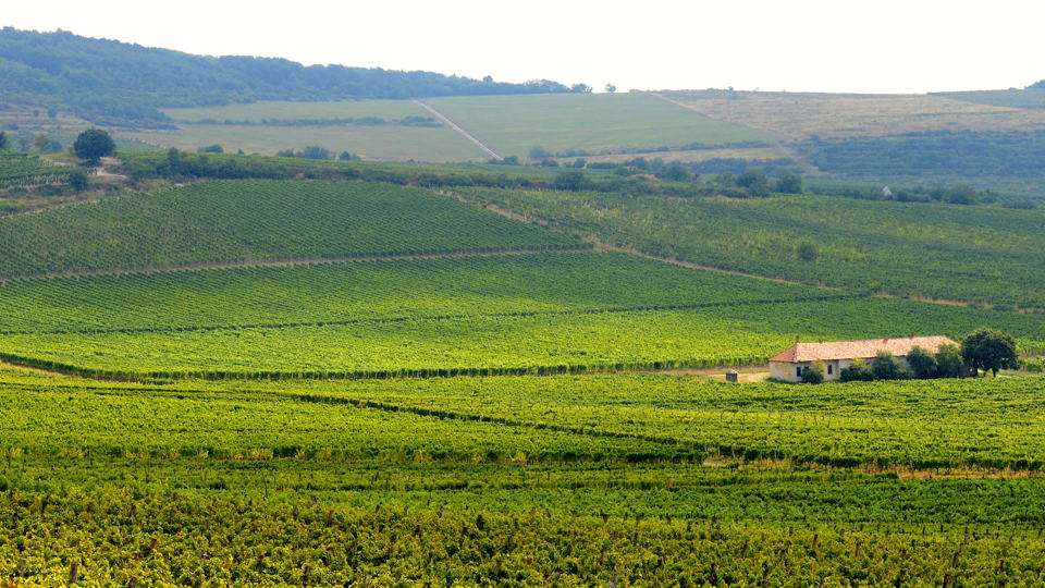 Royal tokaji betsek vineyard