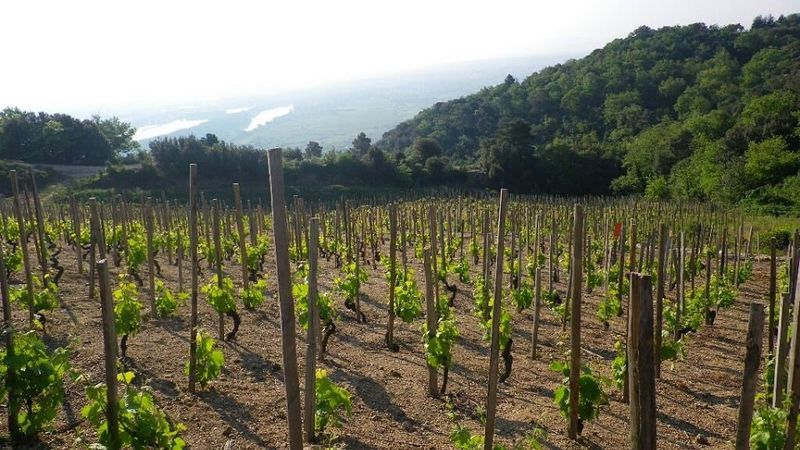 Young vines in the granitc soils of the highly esteemed and high altitude les eygats lieu dit in cornas copy