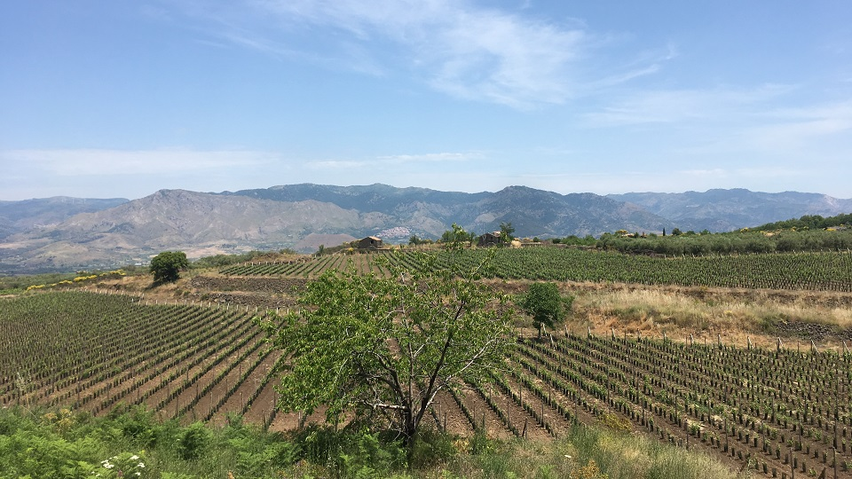 A vineyard on etna owned by planeta copy
