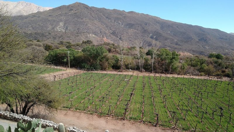 A 100  year old vineyard planted with pre phylloxera malbec at colom%c3%a9 estate in salta copy cover
