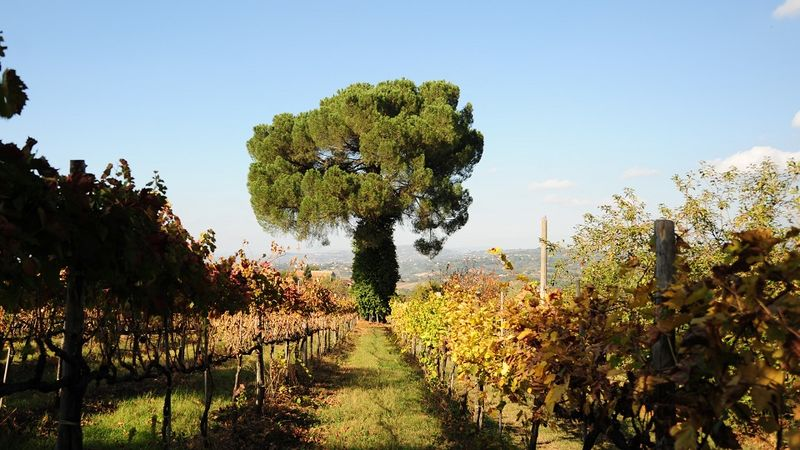 Campanian vineyard scenery copy2