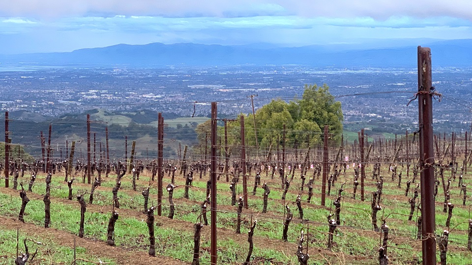 The vines lay dormant in winter  with silicon valley below
