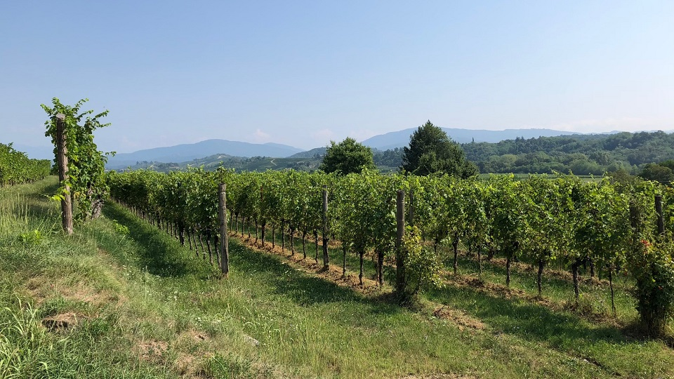 Collio's pretty vineyards copy