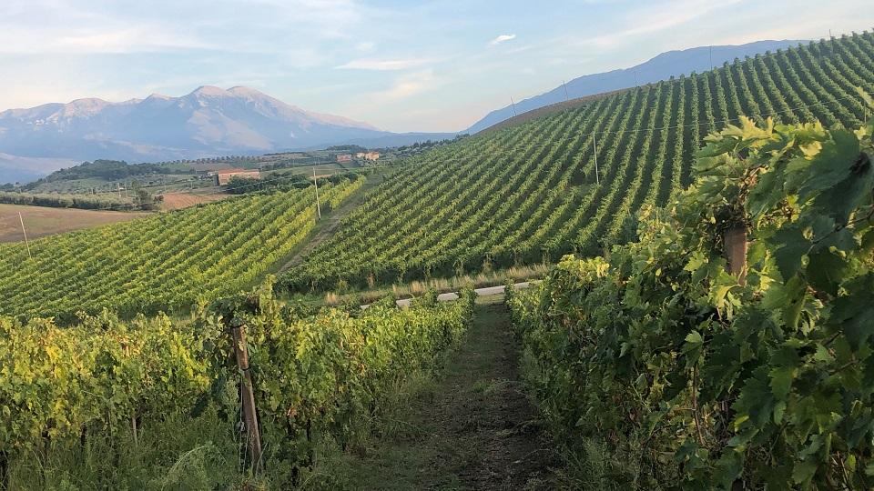 Tiberio's beuatiful intensely green pecorino vineyard in the distance copy