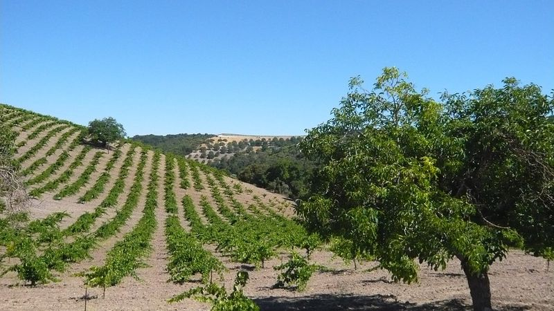 Grenache makes up the base of many of the best and most expressive wines from paso robles copy