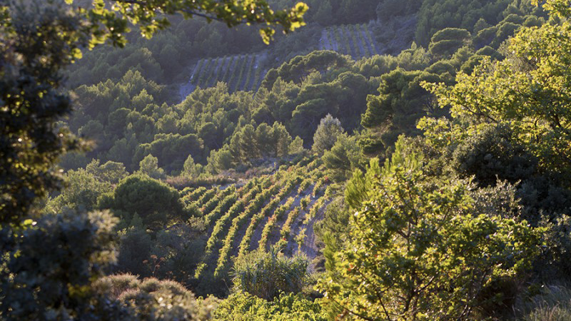 The hilly terrain of vacqueyras is surrounded by forests and local flora  or garrigue  typical of northen provence