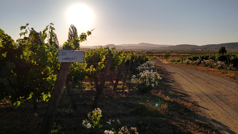 Sunset over a cabernet sauvignon vineyard in the rolling hills of the cordillera de la costa  maule region. copy
