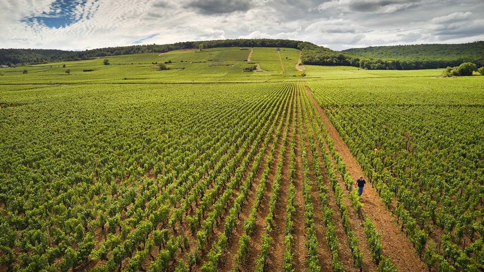 Taupenot mazoyeres vineyard