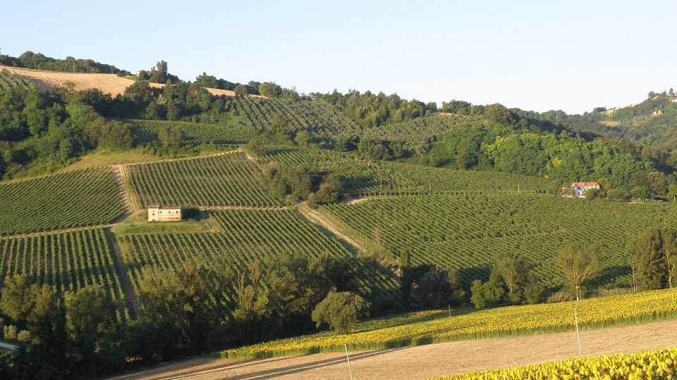 Le marche in the foothills of the apennines sartarelli balciana vineyard copycover