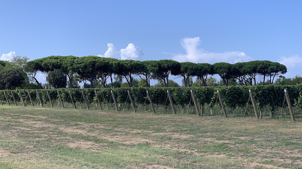 Tuscany vineyard cover