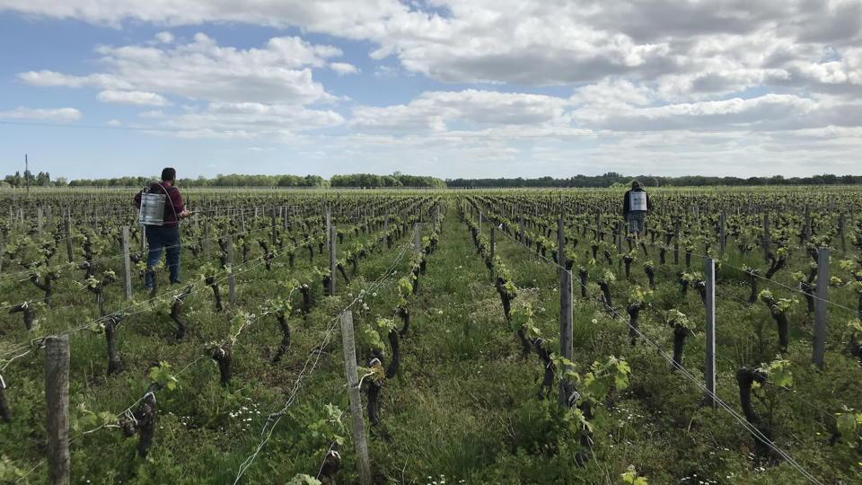 Fourcas hosten vineyard.jpg copy