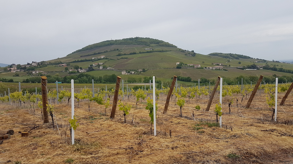 Mont brouilly  which rose up over 35 million years ago  dominates the beaujolais landscape and is home to some of the region's most prized vineyards.jpg copy